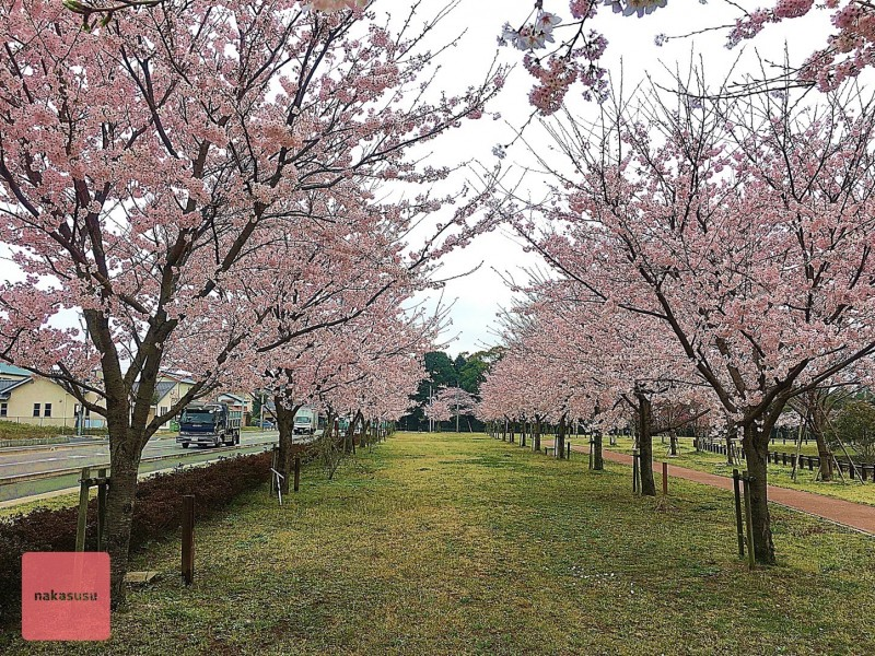 nakasusu.sakura017