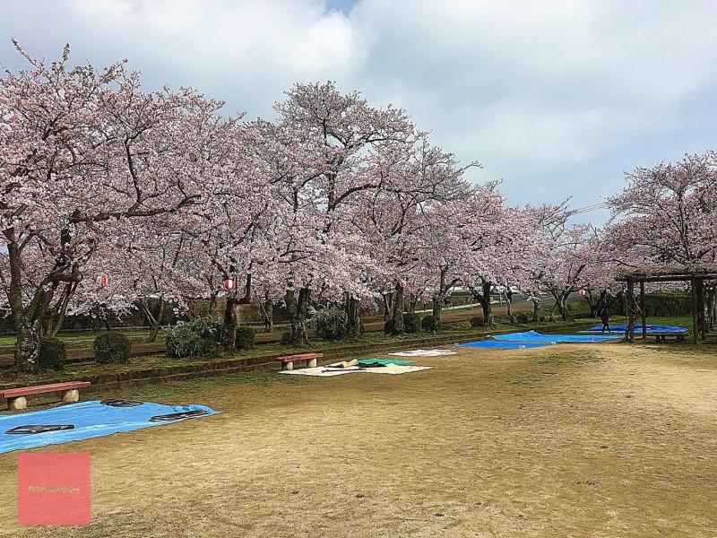 nakasusu.sakura024